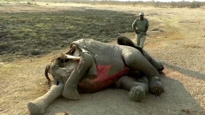 Tajemnicza śmierć ponad 30 słoni. <br />Przyczynę poznano po kilku miesiącach