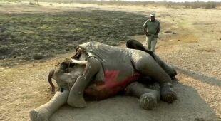 Śmierć słoni w Zimbabwe