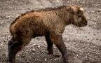 Takin złoty urodził się we wrocławskim zoo