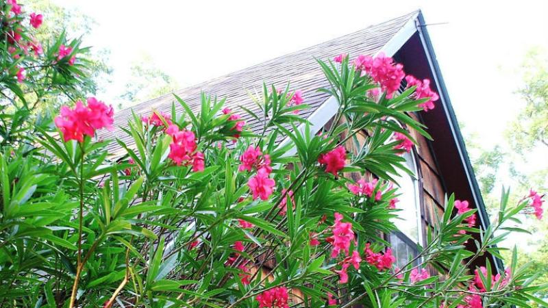 Oleander zwyczajny
