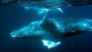 Japonia wraca do komercyjnych połowów wielorybów